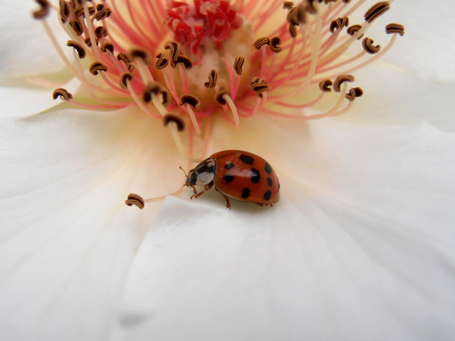 Red ladybug on white rose