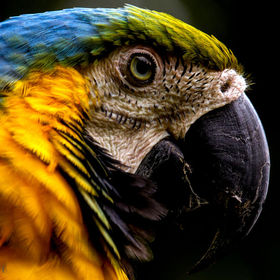 Blue and Yellow Macaw, Photographed in Ecuador