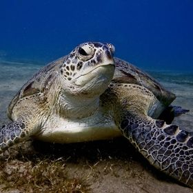 Green Sea Turtle taken in the Red Sea