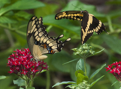 Tiger Swallowtail Butterfly Courtship