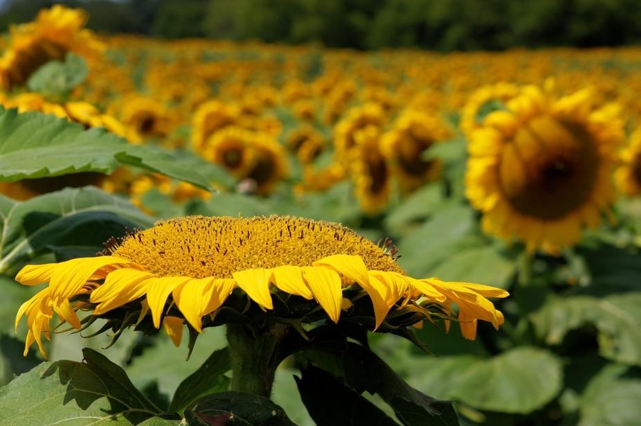 sun bathing sunflower