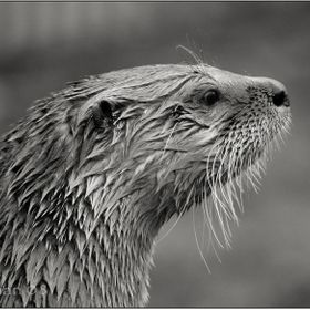 Otter study in black and white