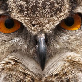 Close up study of an eagle owl