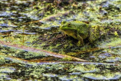 frog1_6156