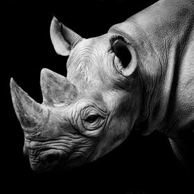 My latest rhino shot. Rhinos work really well when converted to black and white and I am particularly pleased with the way this has turned out