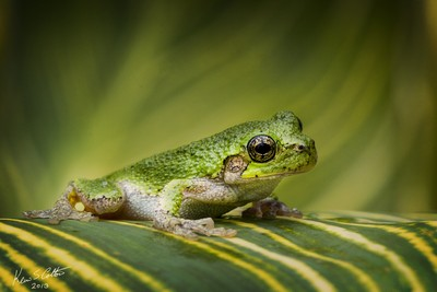 Green Tree Frog-0001