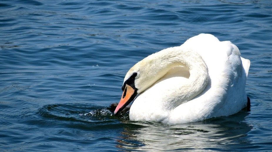 This beautiful swan creates circles and bubbles of water, even into the air, rotating its neck an...