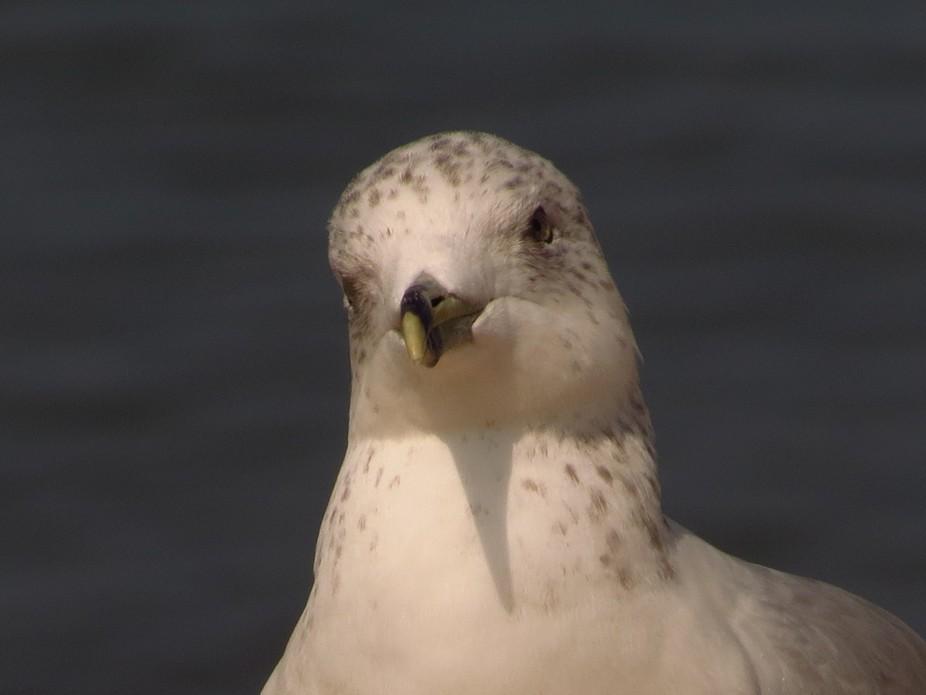 Lake Michigan Seagull