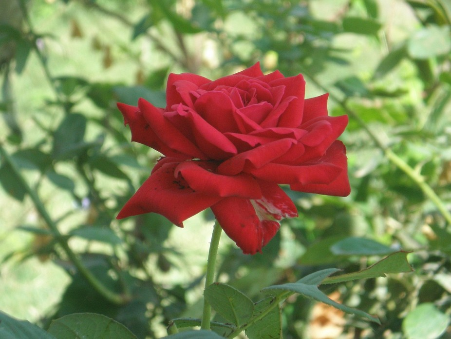 A Rose is a Rose is a Rose !!!!