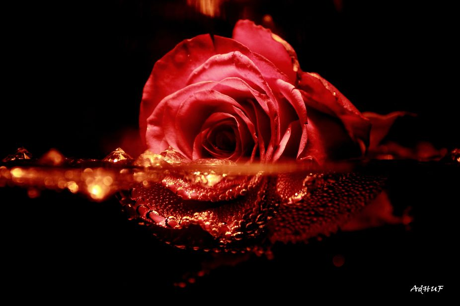 Red Rose in the water.