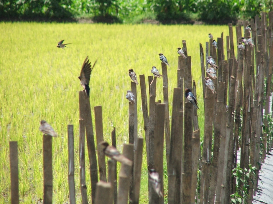 some birds were waiting until the rice-field save from the guardian.