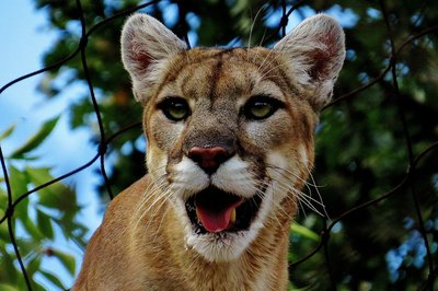 Little young cougar