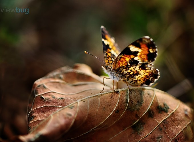 Phaon Crescent by MaryAnnAndrews - Macro Butterflies Photo Contest