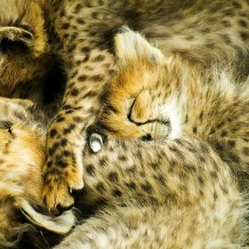 Some sleeping Cheetah cubs all together as a mass of fur