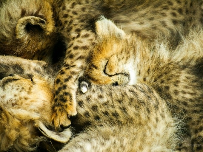Sleeping Cubs by garycox1 - Baby Animals Photo Contest