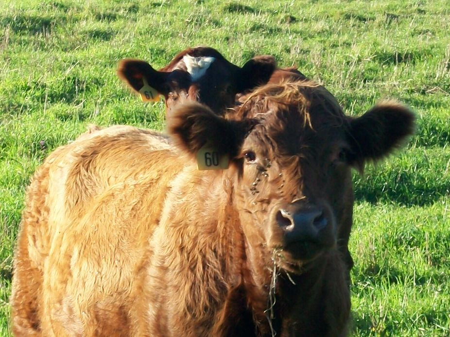 Protective mama cow looking and watching me as I am trying to take this picture...curious baby pe...