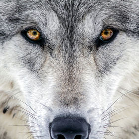 Staring into your soul, the wolf lives without fear