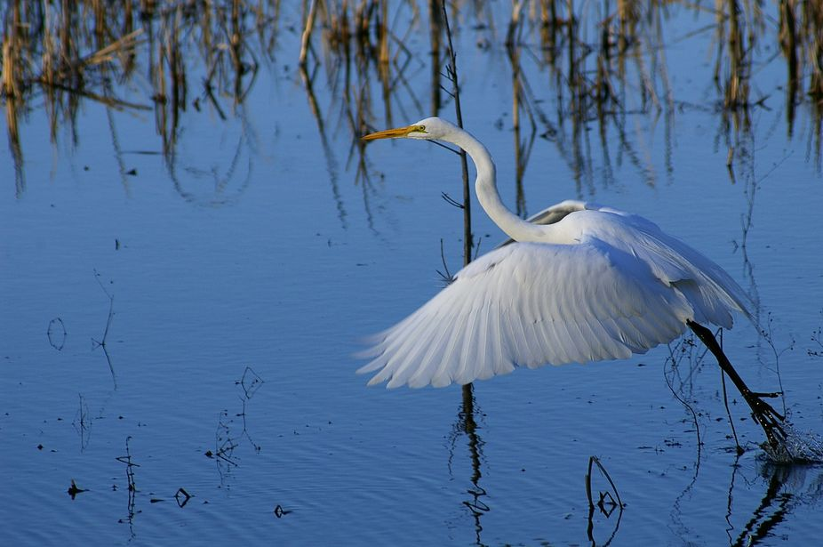 This white Egret payed around for awhile before spotting me. Once I was made, it was off and flying.