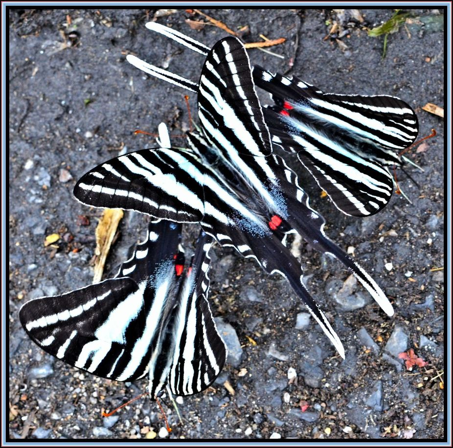 I think these are called Blue Tiger Swallowtail Butterflies.One Morning while at the boat launch ...