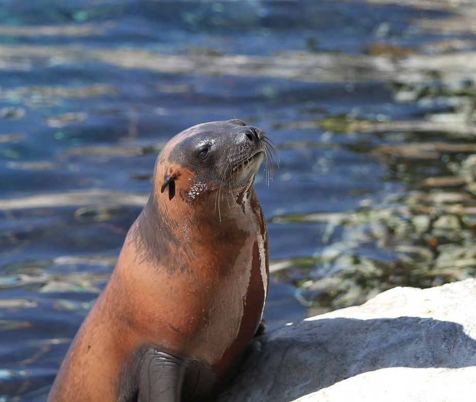 Sea Lion @ Sea World