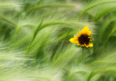 Sunflower in the Grasses