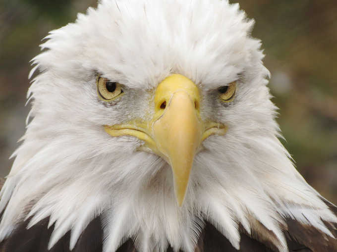 Bald Eagle by donanzinger - Just Eagles Photo Contest