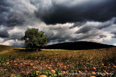 Pumpkin Patch Under Dark Skys