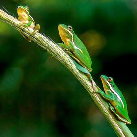 Frogs family line up on a branch early one morning