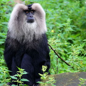 Lion-tailed macaque or Wanderoo