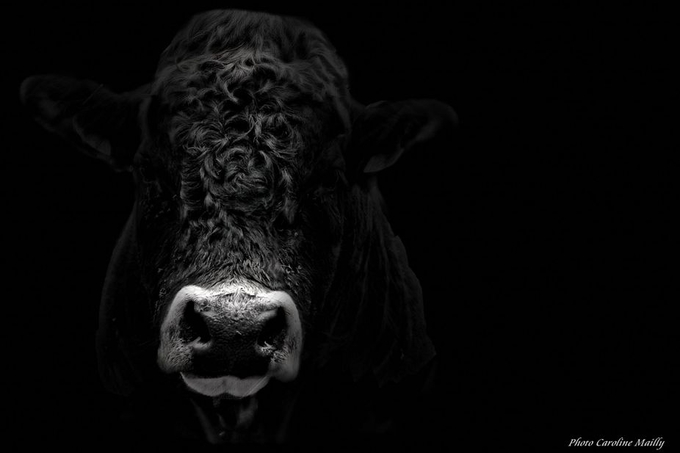 The bull by CaroMailly - Dodho Volume 4 Photo Contest