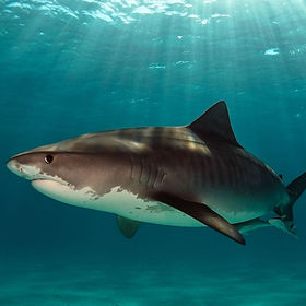 A large female Tiger Shark