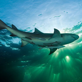 A Lemon Shark, just before sunset.  Visit my website: www.boazphotos.com