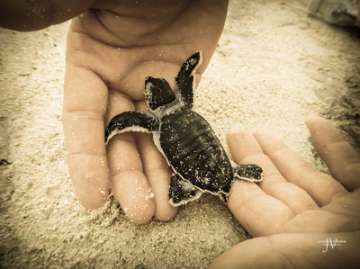 Releasing a Baby Sea Turtle into the Ocean