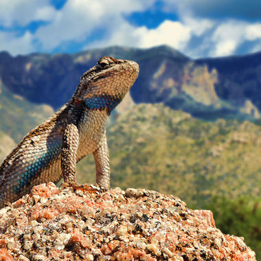 I found this little guy perched atop a granite boulder sunning himself.  In Elena Gallegos Canyon near Albuquerque, NM.