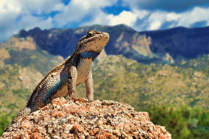 """King of the Hill"" by Iconoscope - Reptiles Photo Contest"