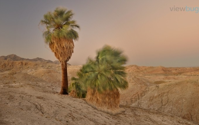 Windy Palms in the Arroyo Salado by Sierralara - Palm Trees Photo Contest