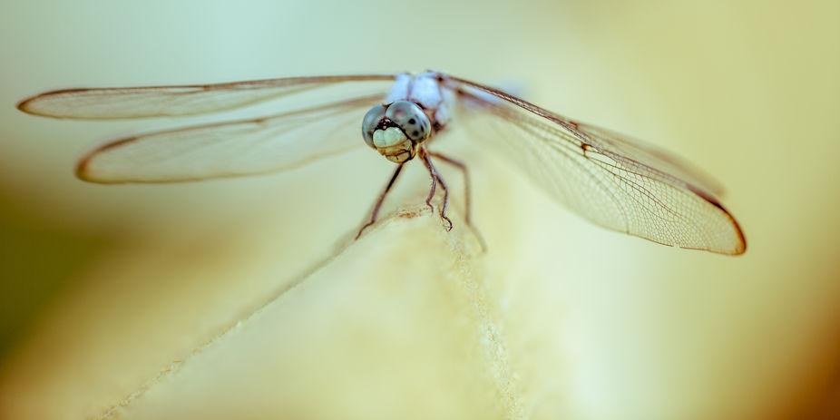 Sundance Dragonfly