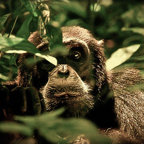 A chimpanzee peers through the undergrowth in Kibale Forest, Uganda