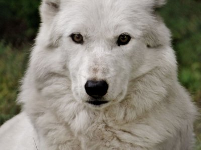 Gentle wolf face
