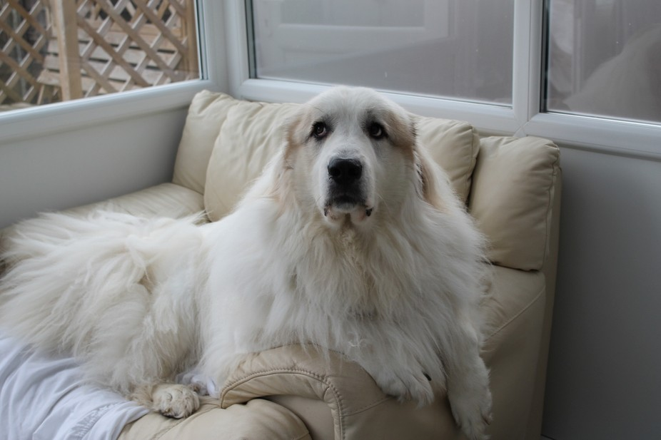 This is Brian his our pyrenean mountain dog and as the title suggest he roams around like the kin...