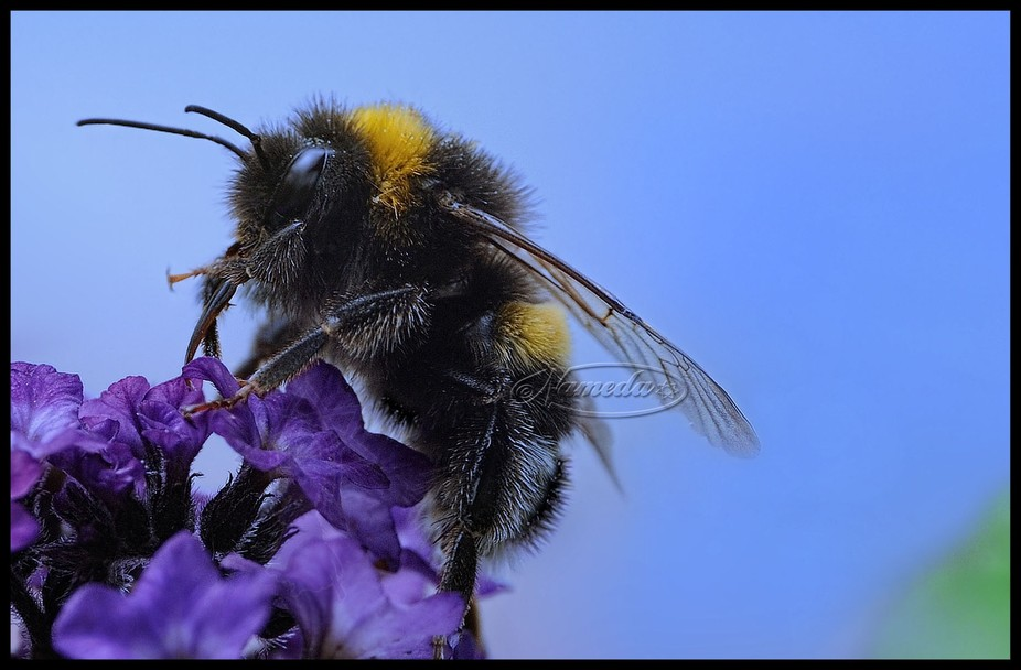 a bumblebee on a heliotrope crop of the original photo