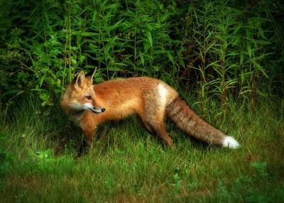 Red Fox 52
