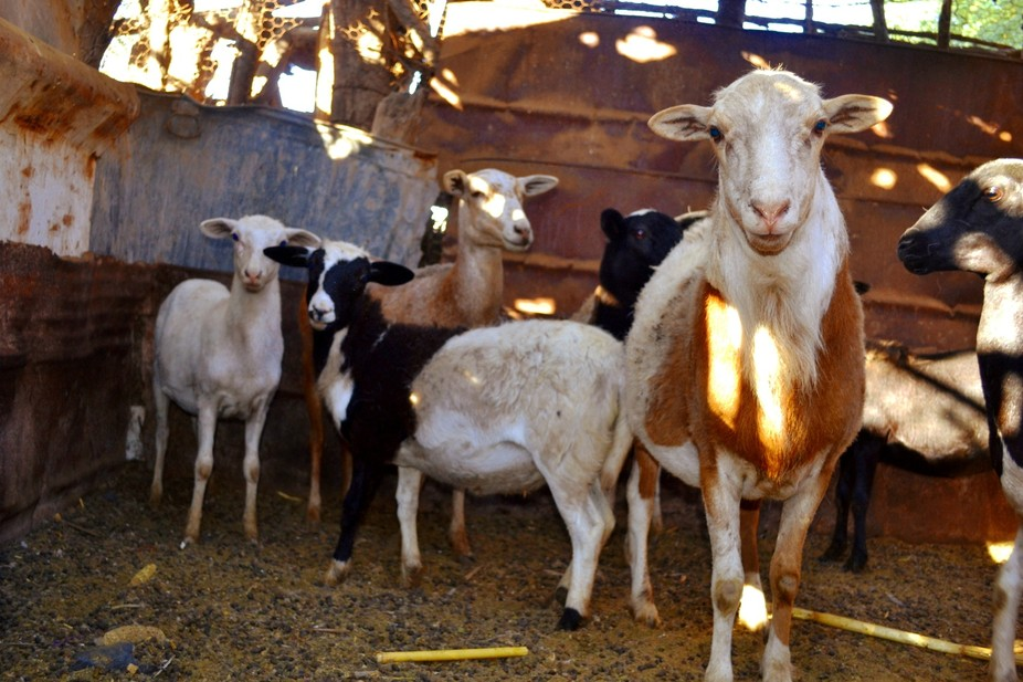 A group photo of my grandfathers goats.