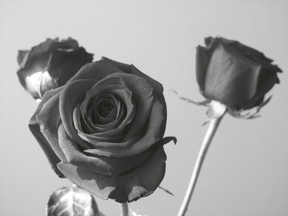 ˝Three black roses˝