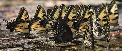 Sugar Hollow Butterflies