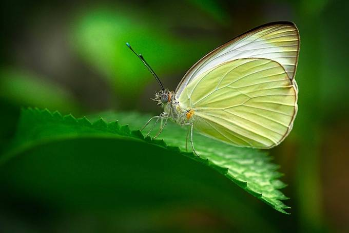 Lemon Color by arquien - Beautiful Butterflies Photo Contest