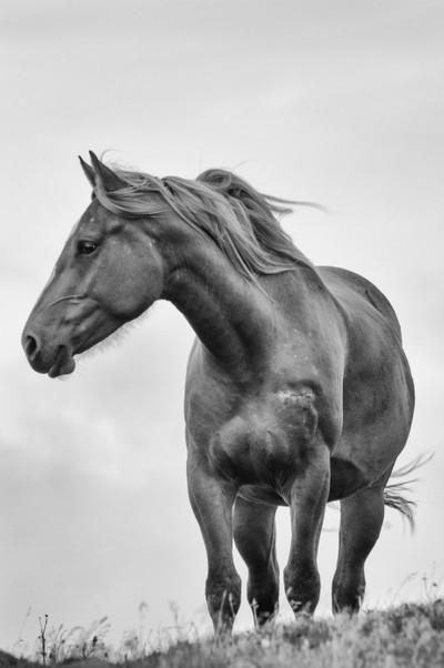 windblown horse