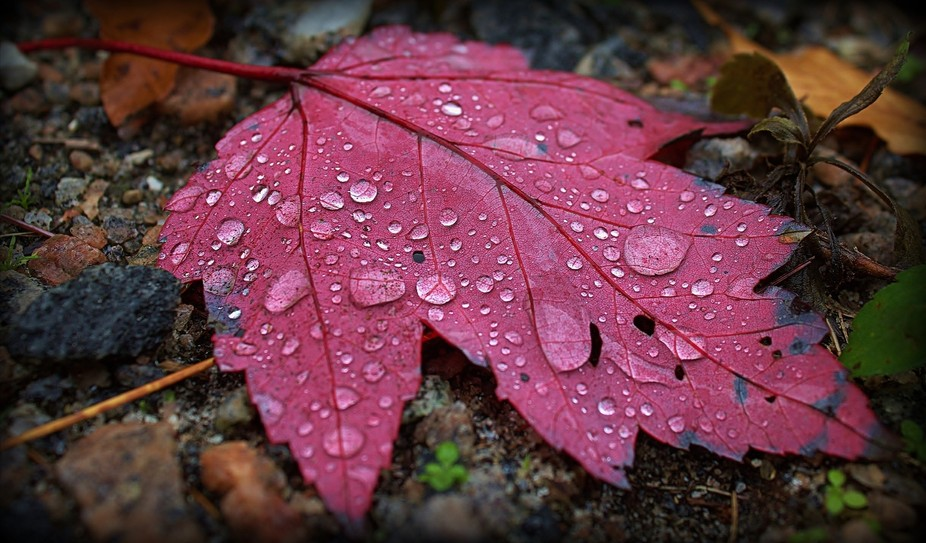A maple leaf in autumn with rain drops