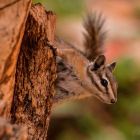 A Lodgepole Chipmunk checking out what I'm doing in front of it's tree. This picture was captured while my tour through Bryce Canyon National Par...