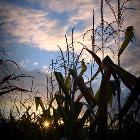 the Sun peaks through a row of corn, as it sets.
